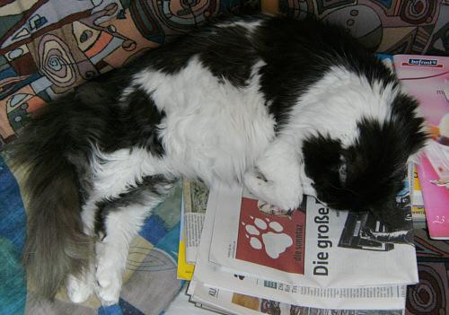 Katze auf der Zeitung