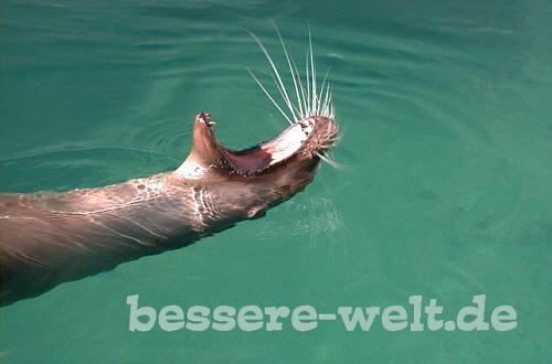 gelangweilter Seehund